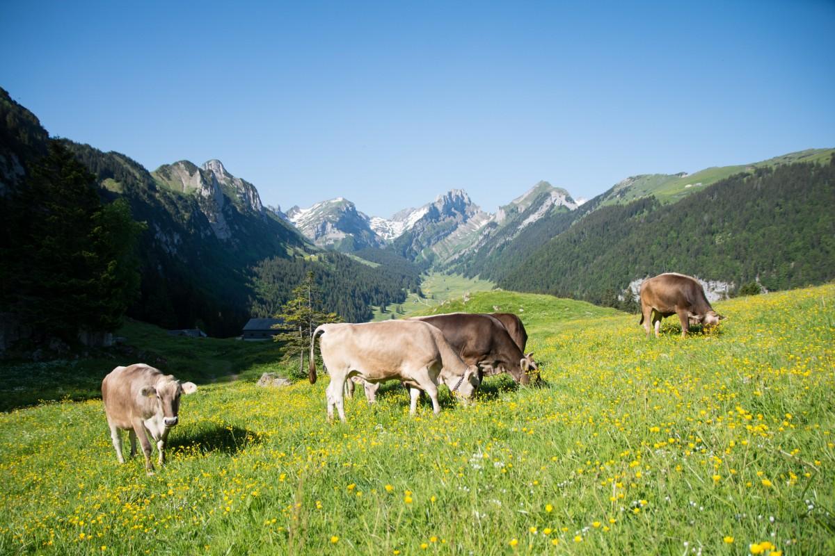 Alpstein Kühe